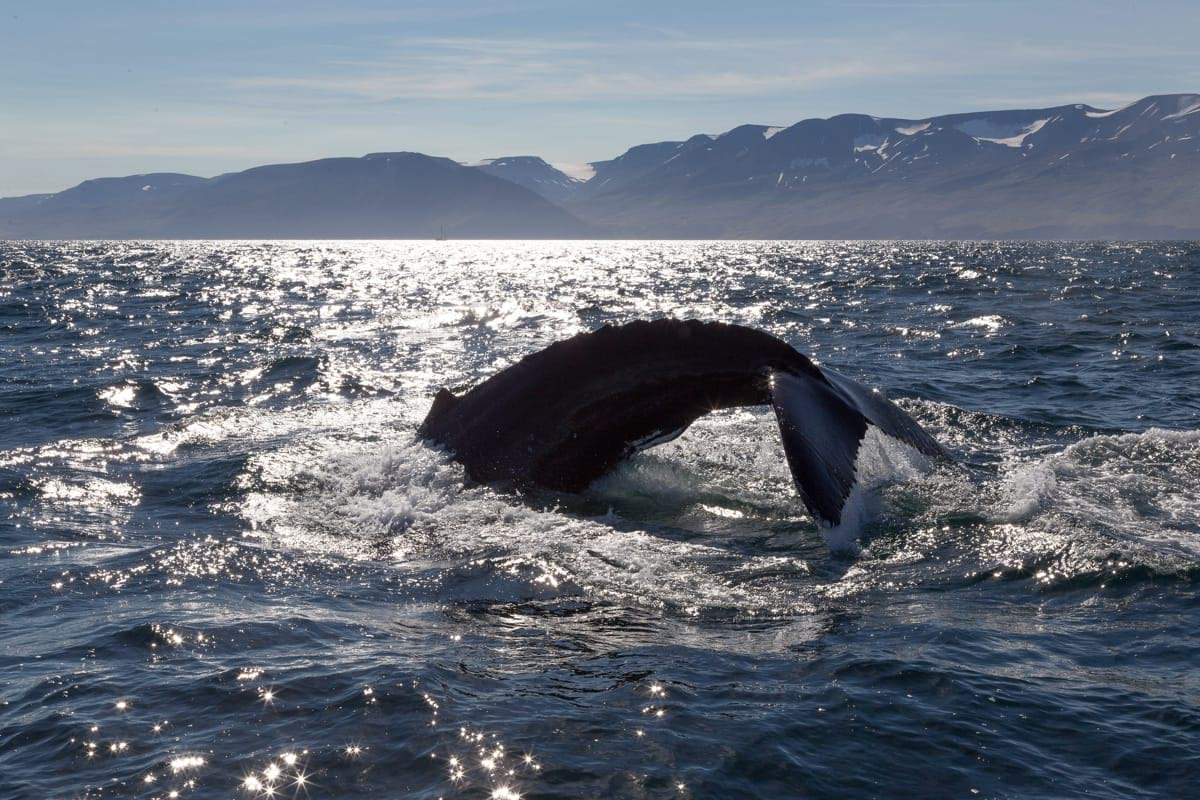 Whale watching is very popular and can be done in multiple areas around Iceland