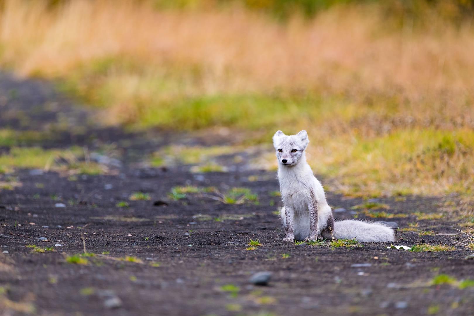 Arctic fox in Thórsmörk