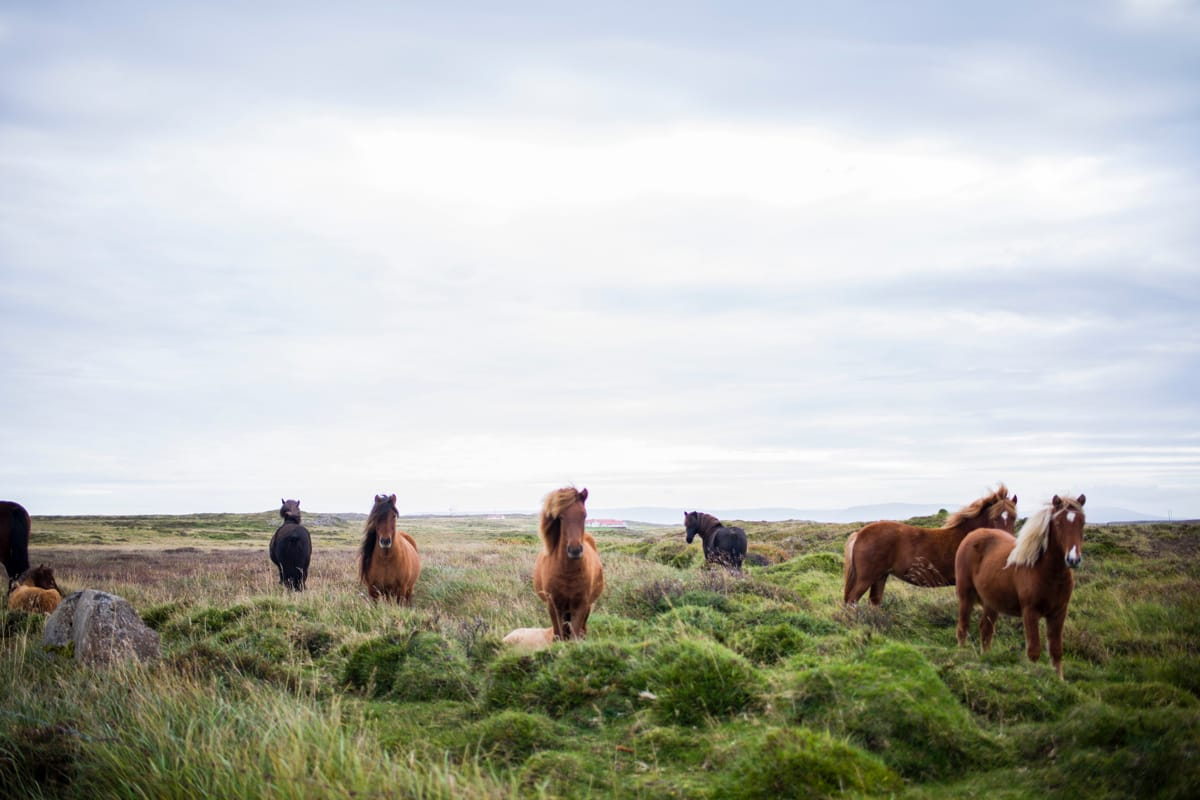 The Icelandic horse is a very gentle breed