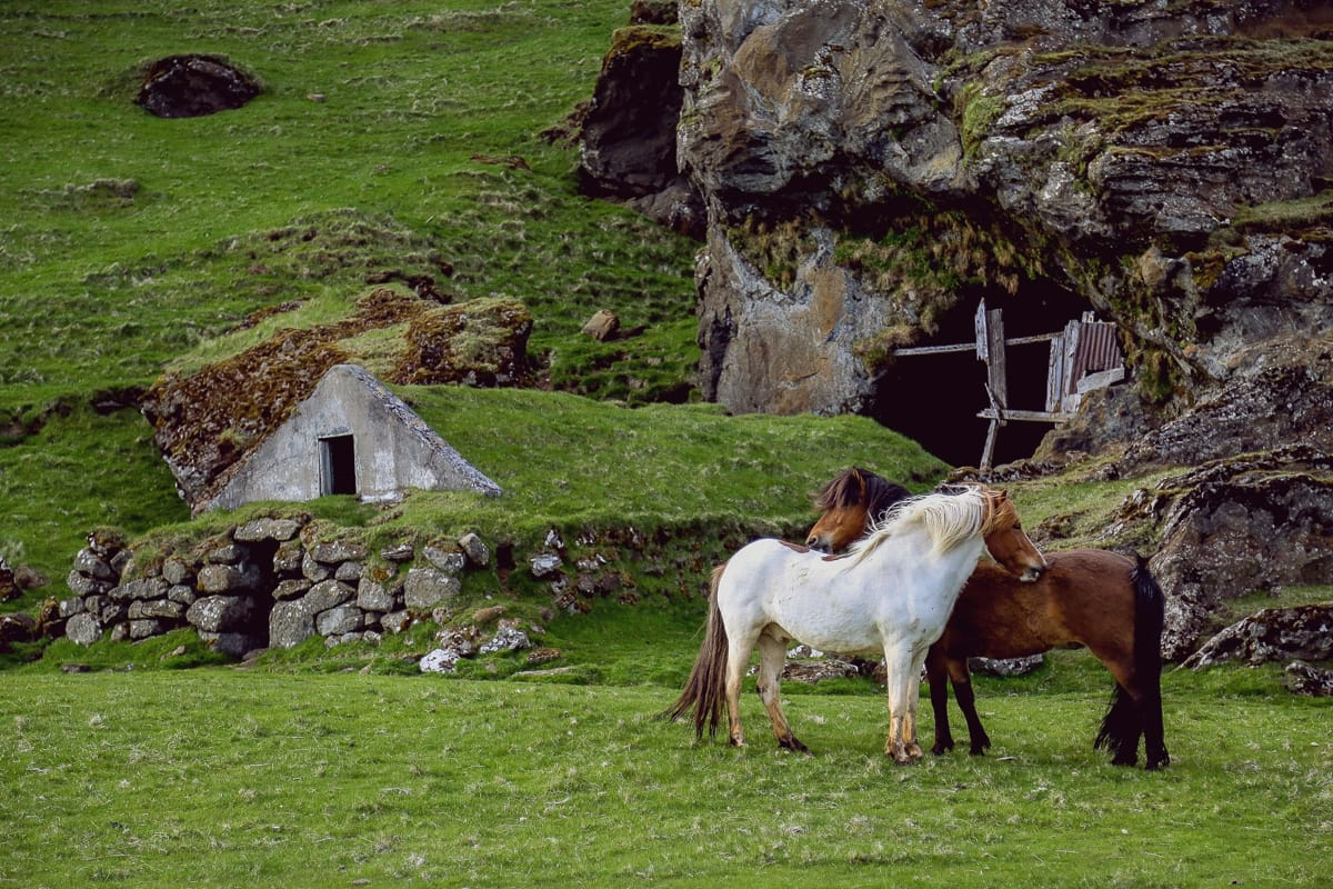 You will find the Icelandic horse all around Iceland